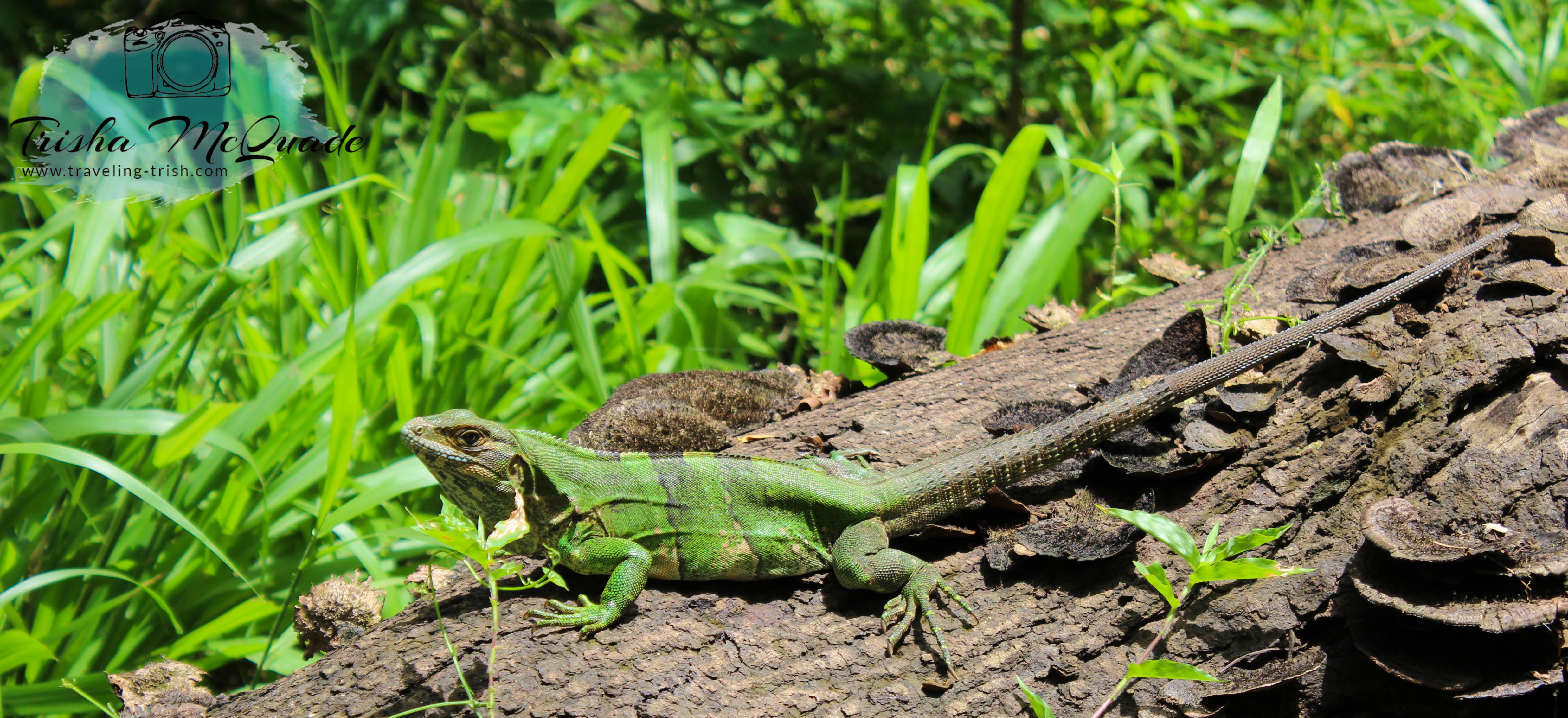 Iguana Chill