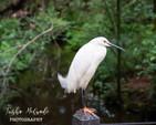 Snowy Egret Perch