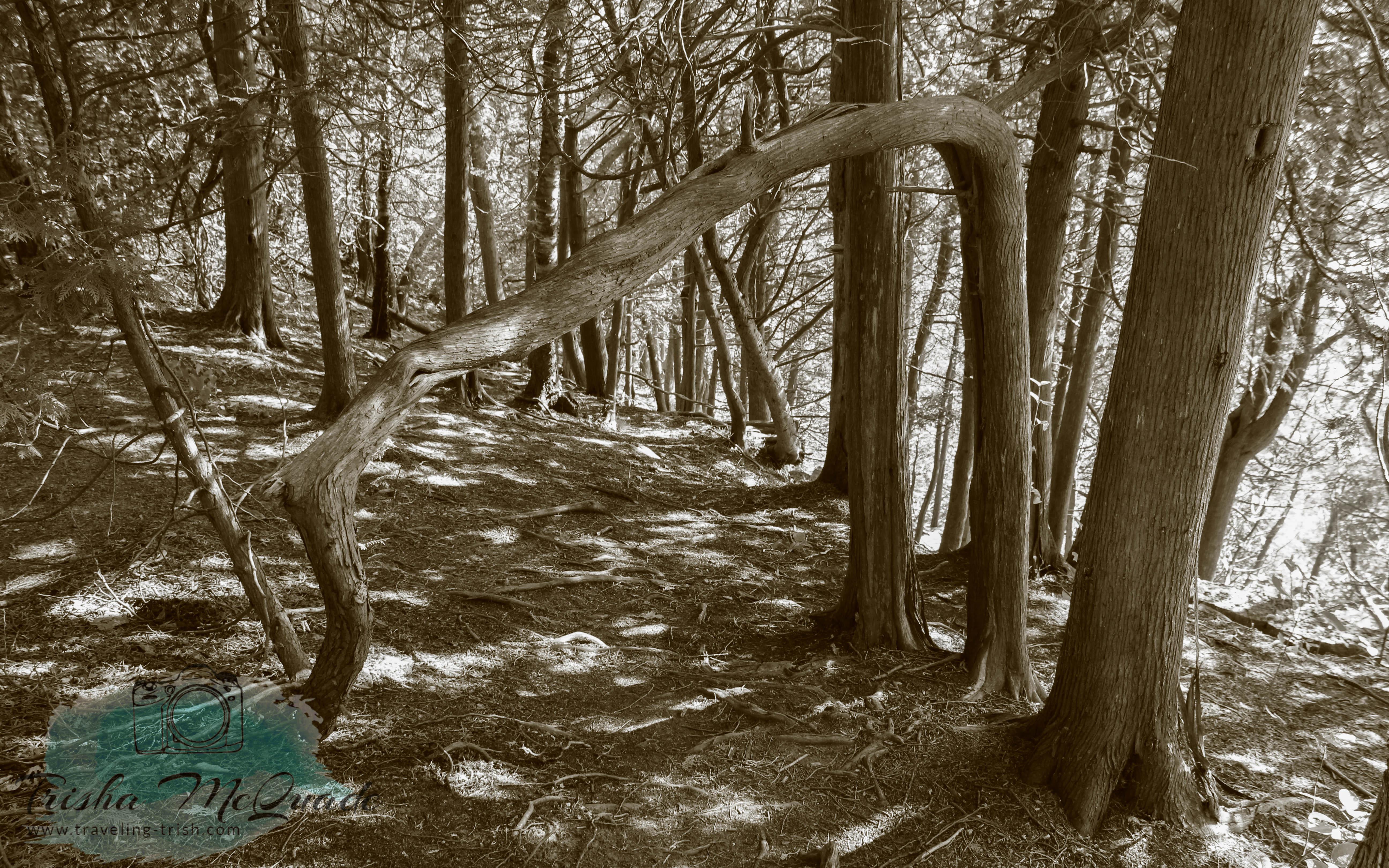 B&W Crooked Tree