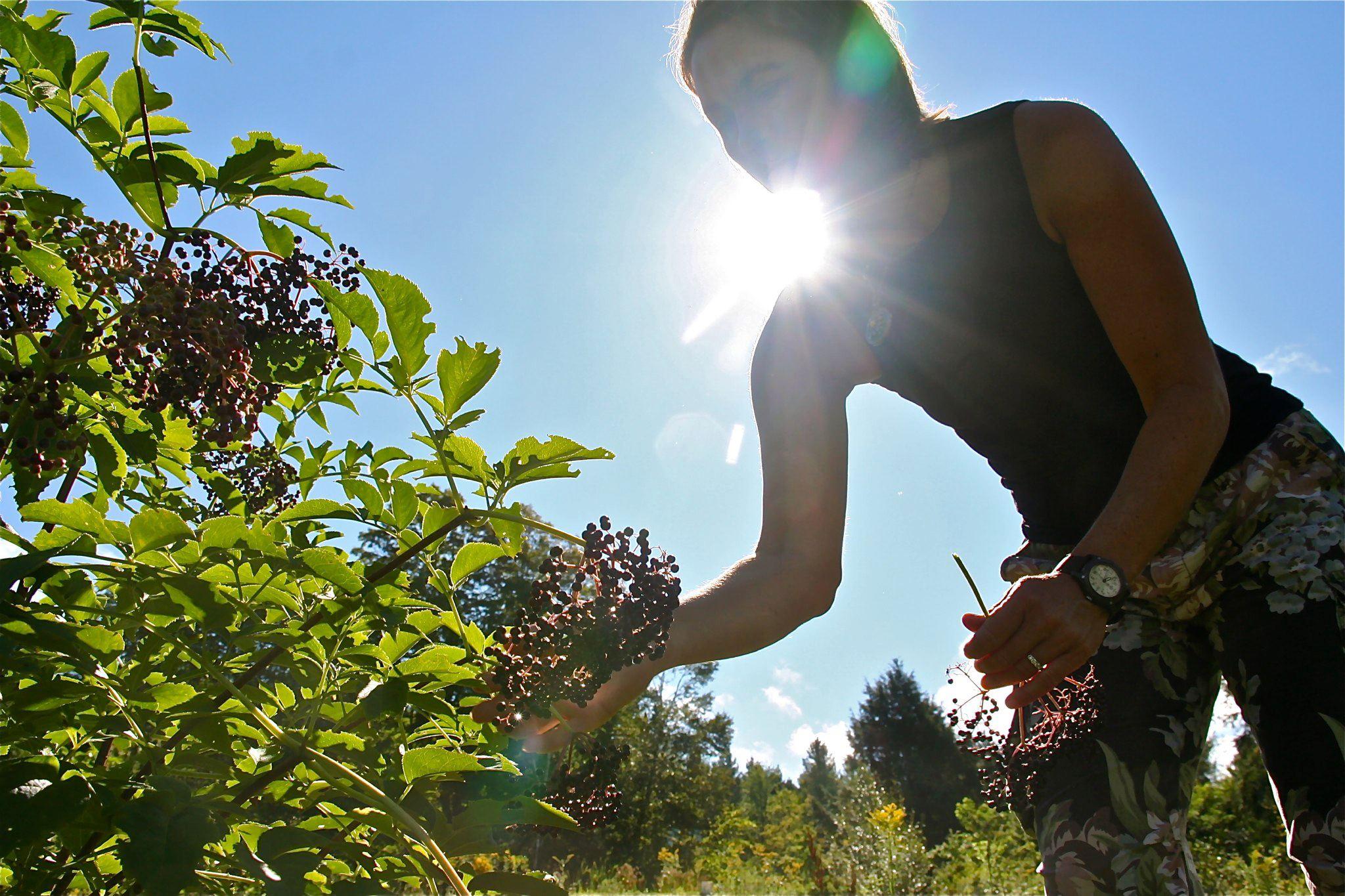 Helen harvesting Elderberries at Three Springs Farm