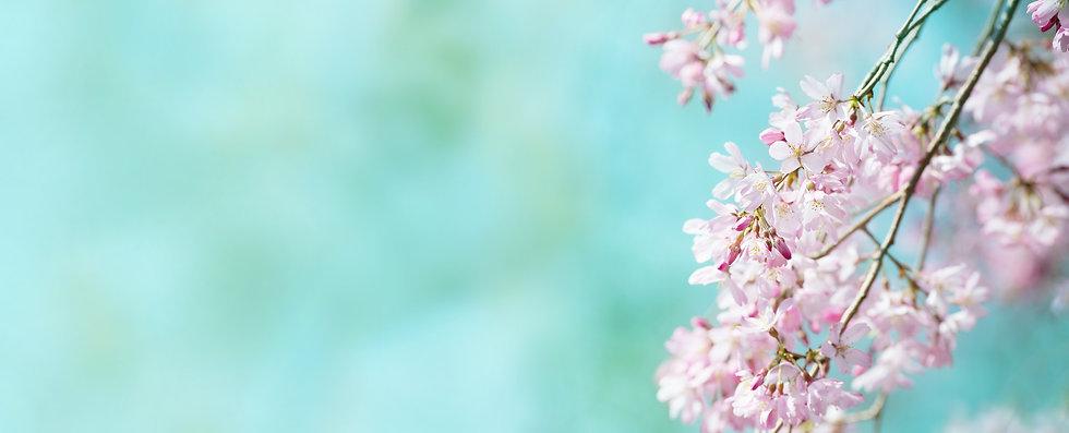 Spring shidarezakura (weeping cherry) cherry blossom with early spring green soft pastel g