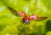 טוטם חיפושית, מעוף חיפושית, חיפושית משה רבנו