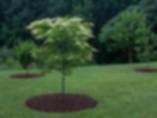 Oxydendrum_arboreum_tree_in_July7.jpg