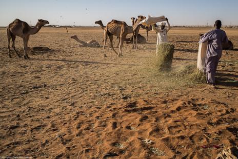 Feeding camels
