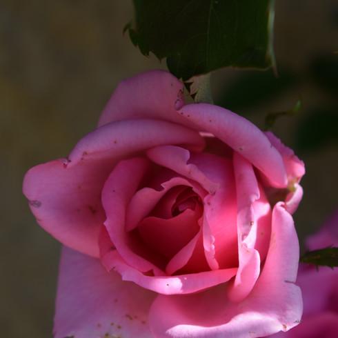 rose in milk jug
