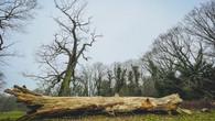 Falled Tree