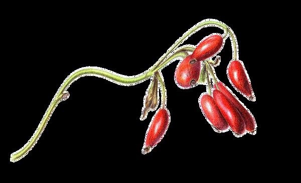 image_berries-vector.png