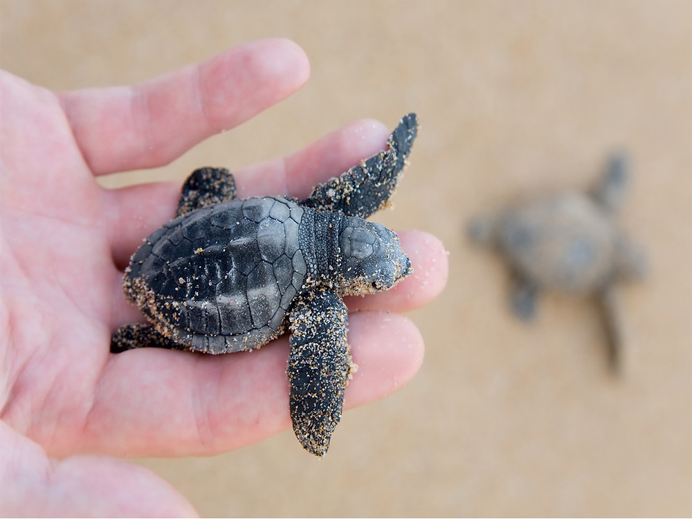 liberar tortugas en ixtapa zihuatanejo