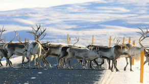 THE REIGN OF THE REINDEER