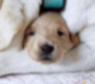 newborn goldendoodle puppy utah