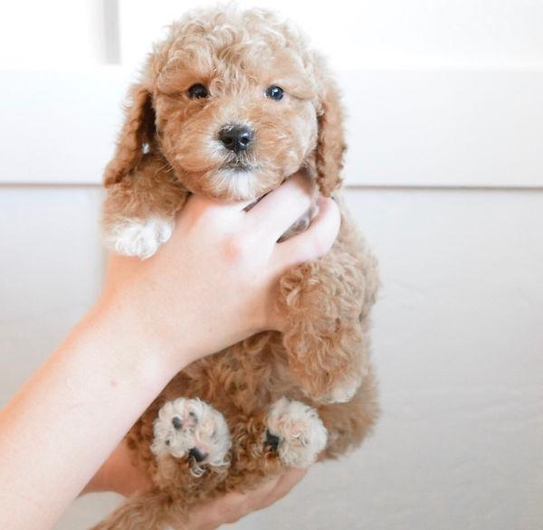 mini goldendoodle puppies utah