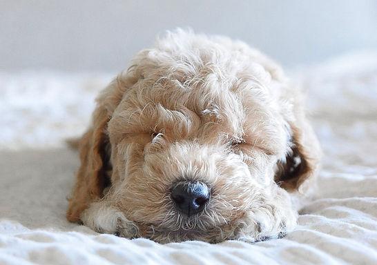 Miniature Goldendoodle puppy Utah