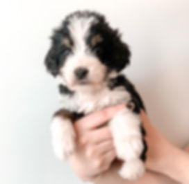F1 mini Bernedoodle puppy tri-colored
