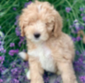 f1b toy laradoode puppy in lavender