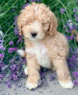 toy Labradoodle puppy Artisan Doodles