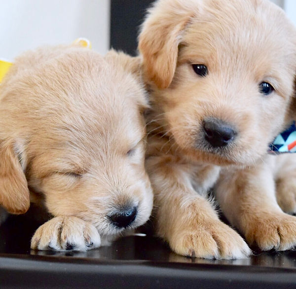 mini labradoodle puppies utah