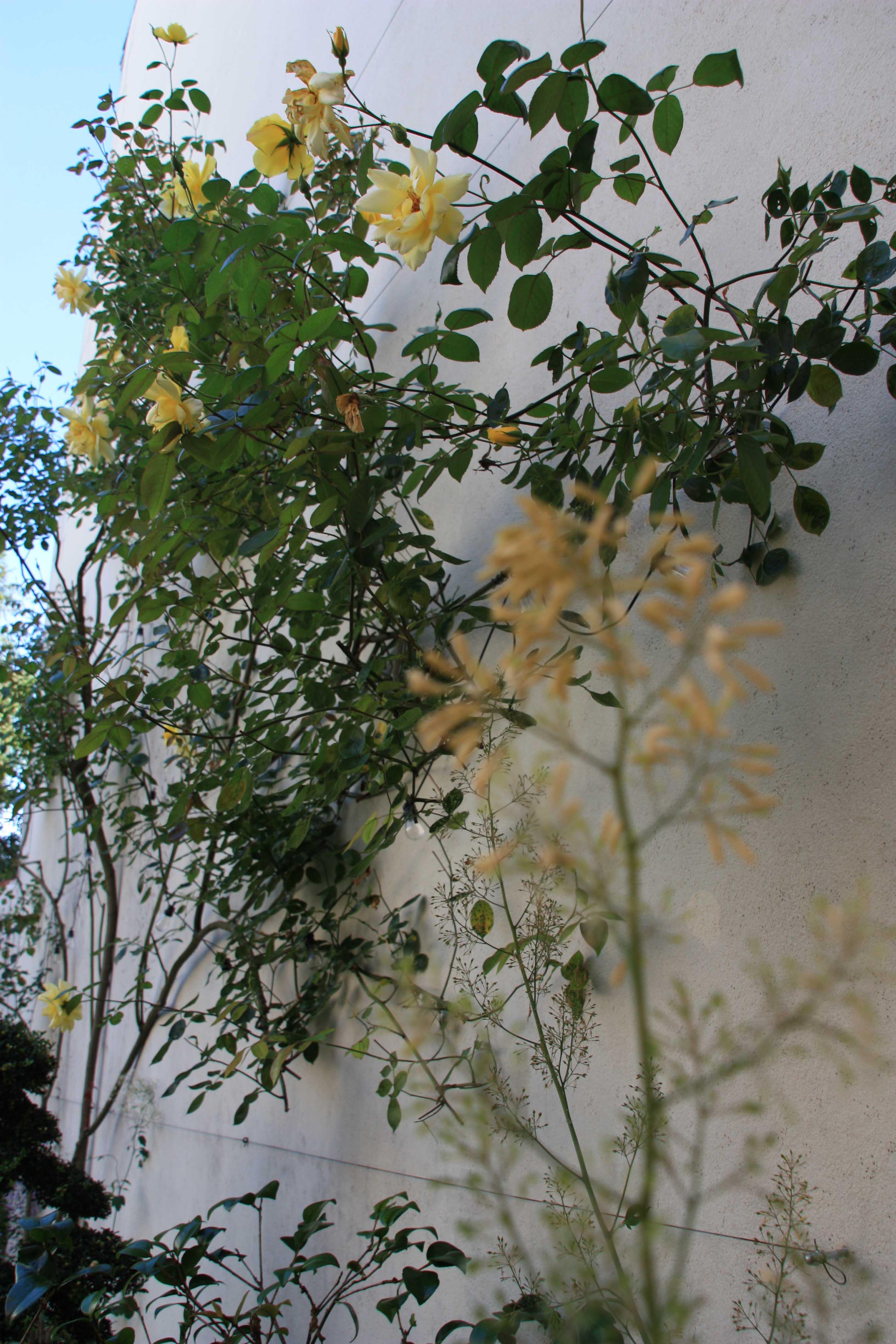 Roses jaunes et fleur de Macleaya cordata