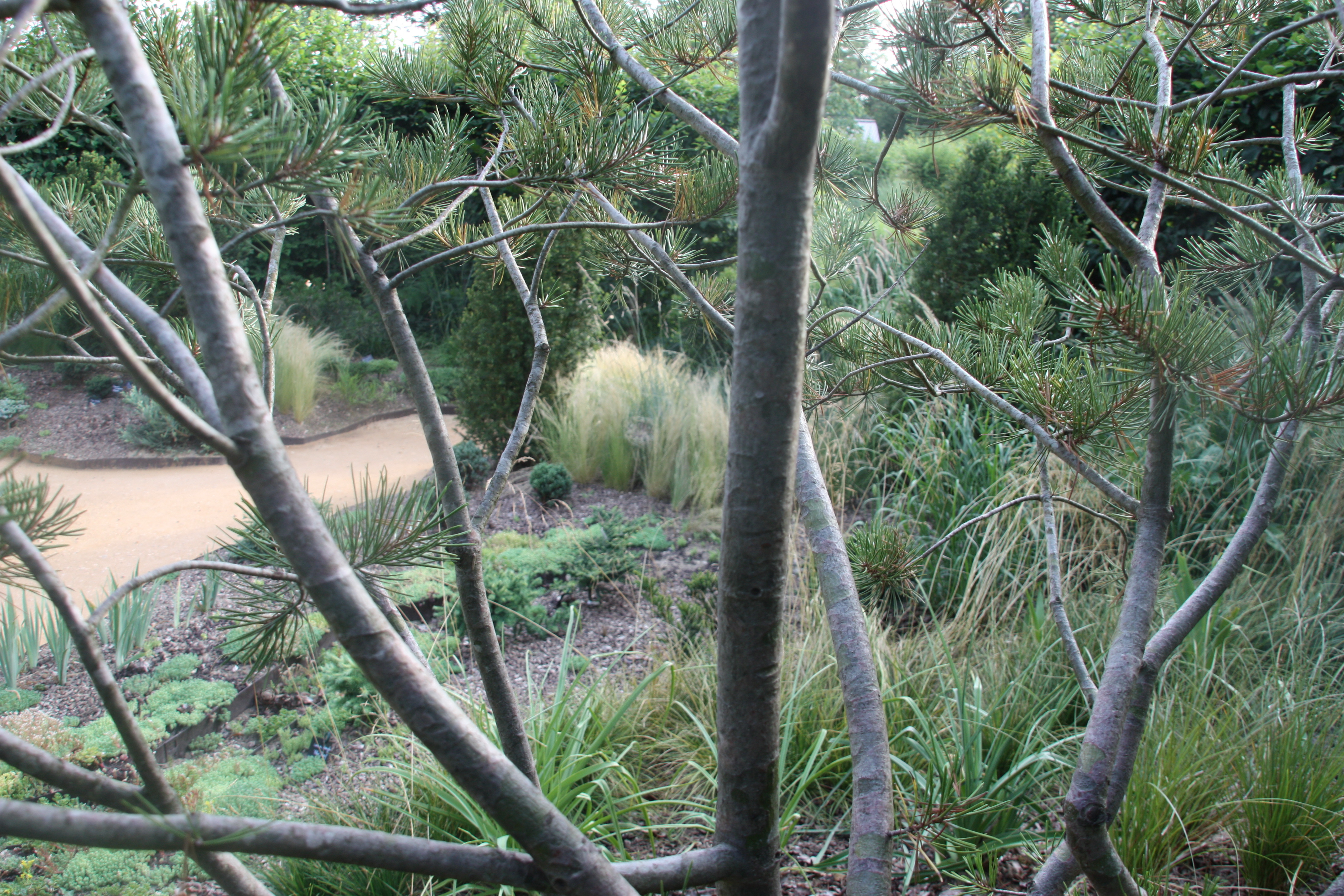 A travers le Pinus buggeana