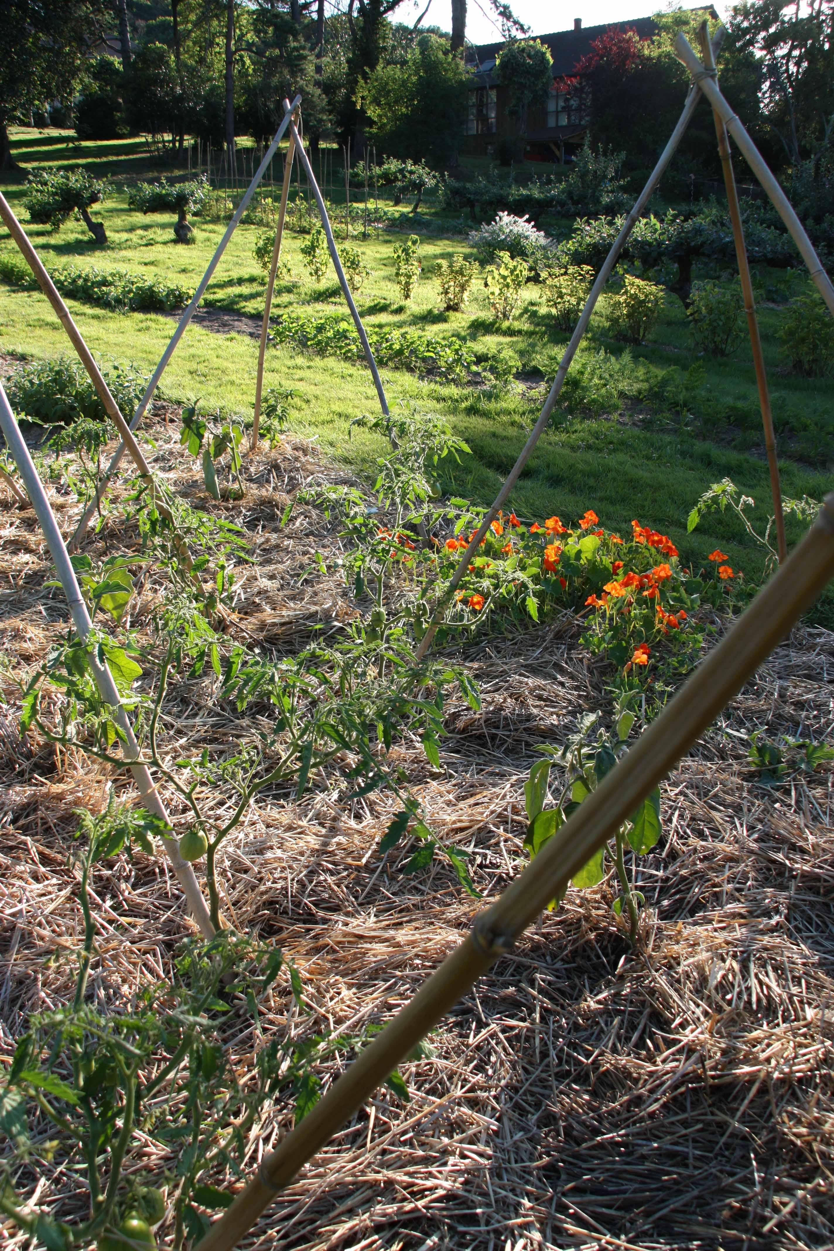 Ligne de tomates