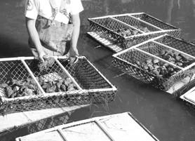 Oyster Gardening