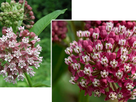 Volunteer for Milkweed planting events at Rapp. River Valley NWR