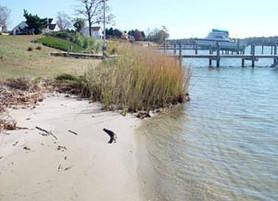 Marsh Grass for Shoreline Stabilization