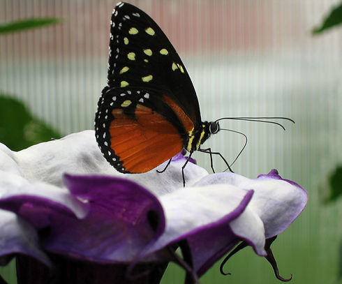 bigstock-Butterfly-And-Large-Purple-Flo-178297.jpg