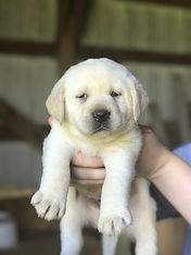 Fix Labs yellow lab puppy face being held