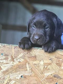 Fix Labs black labrador puppy cute face