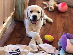 Fix Labs yellow lab puppy crossed paws