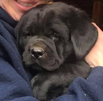 Fix Labs black Labrador Retriever puppy face