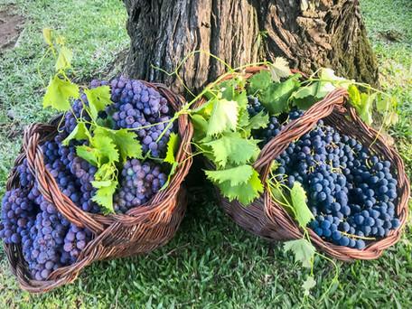 Vindima 2020: colheita e pisa da uva em Garibaldi