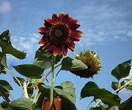 Burnt orange sunflower.JPG