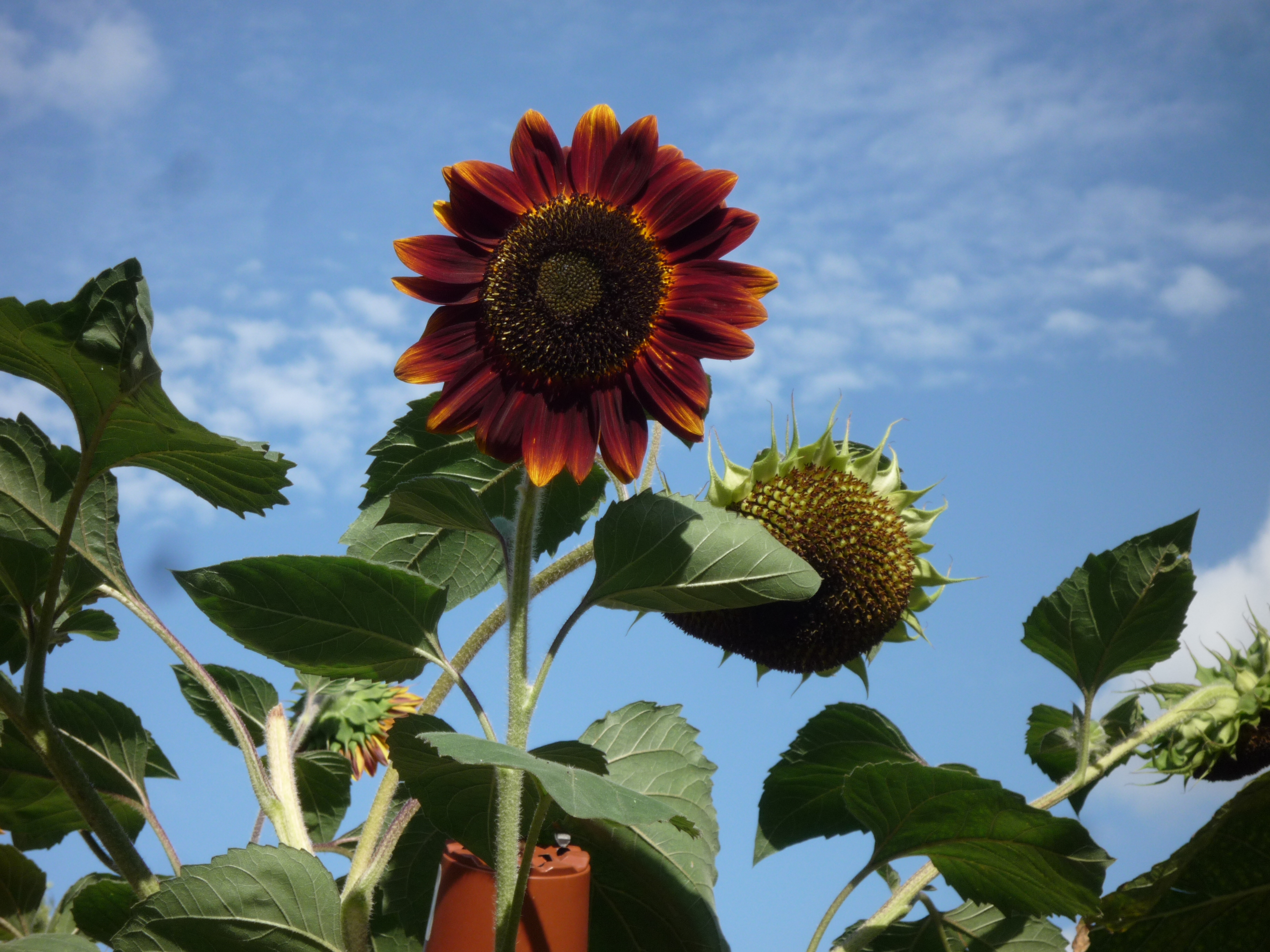 Burnt orange sunflower
