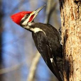 ZenArt Pilated Woodpecker Puzzle - Teaser