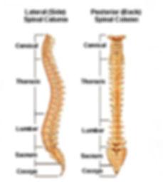 Curves in spine_edited.jpg