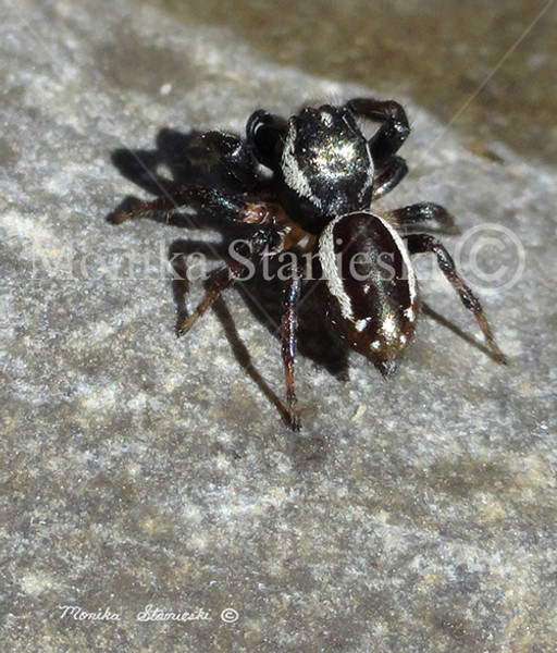 SPIDER STRONG - 600 - DOUBLE WATERMARKED