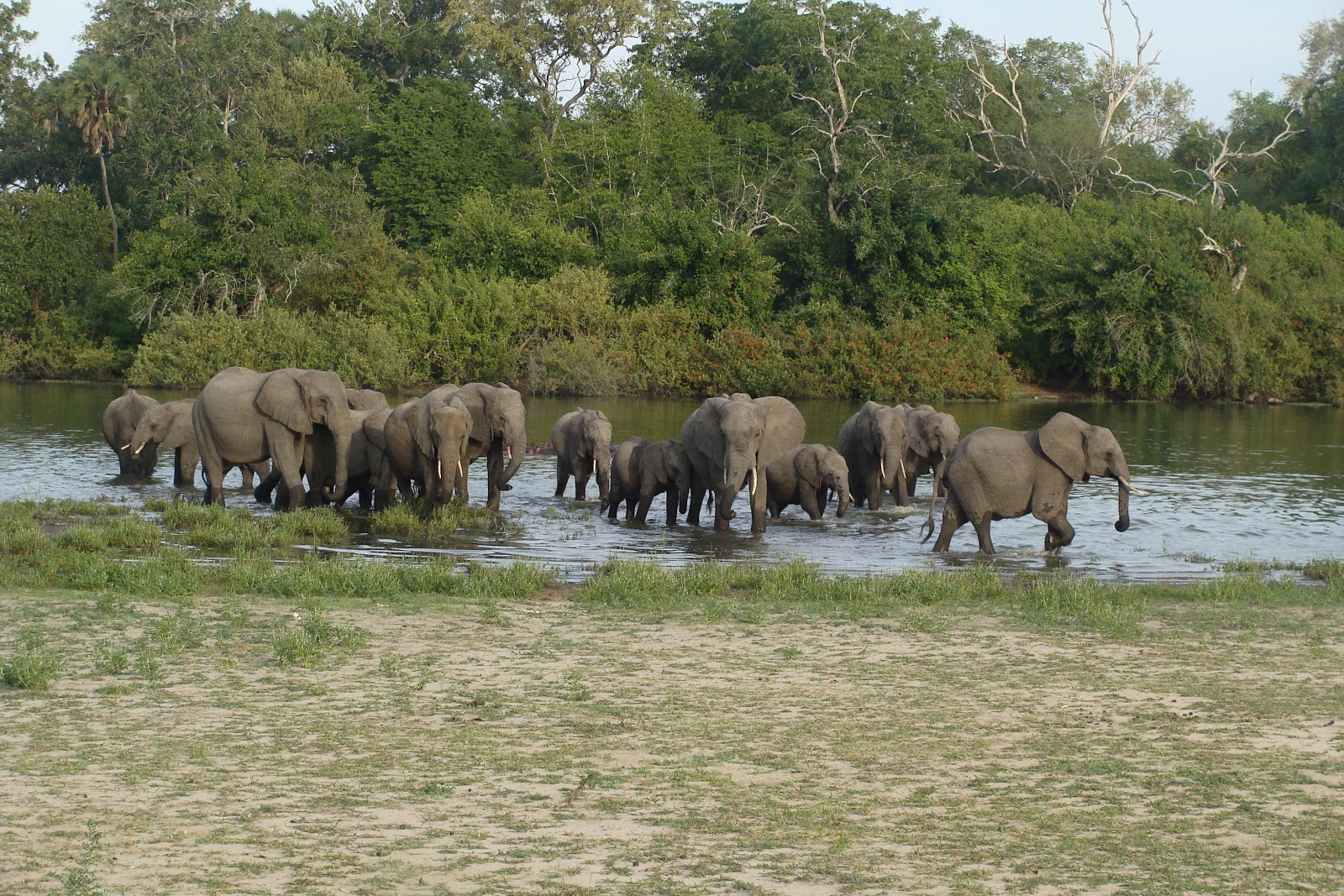 Elephants in the river