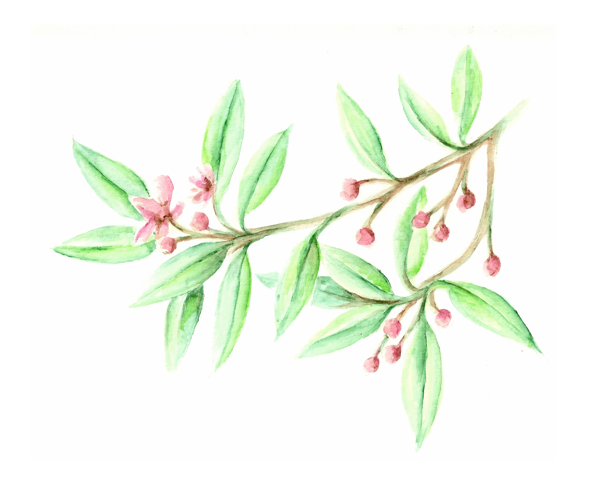 Anise Tree illustration