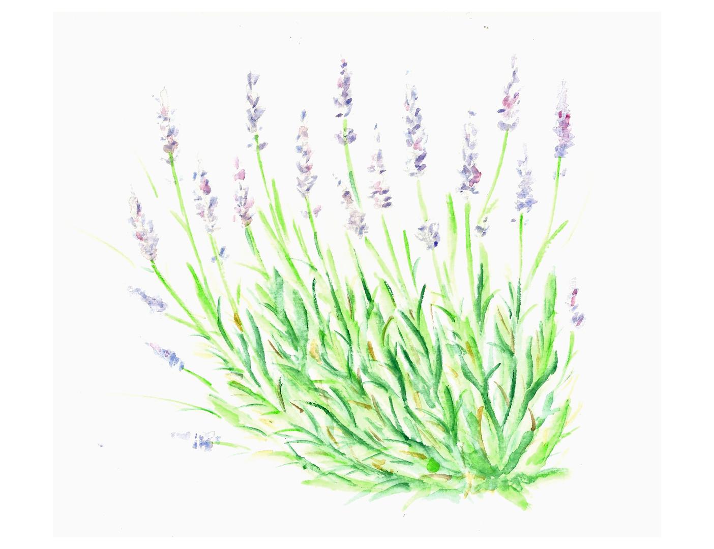 lavender for YOL
