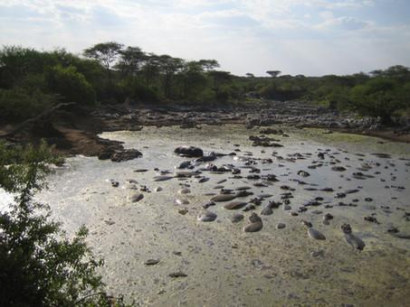 bassa hipopotams.JPG