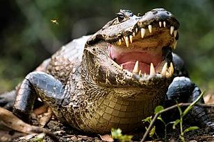 Jacaré_do_pantanal.jpg