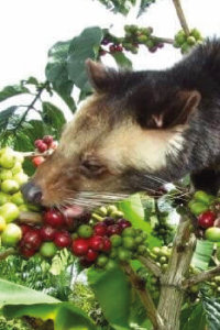 Kopi Luwak Wild Harvested
