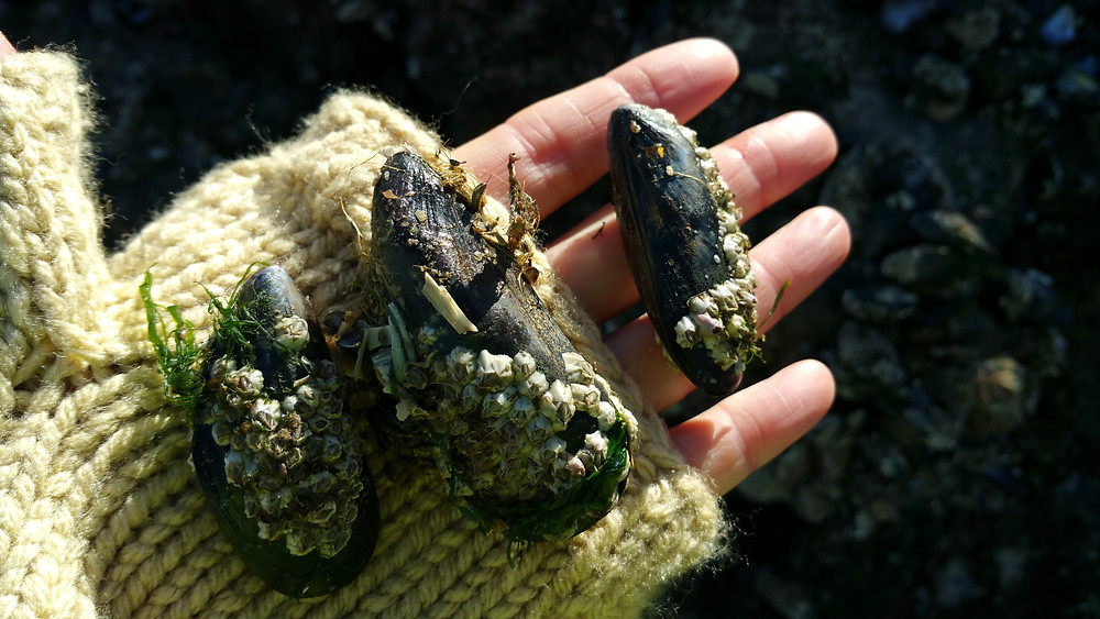 Freshly picked mussels
