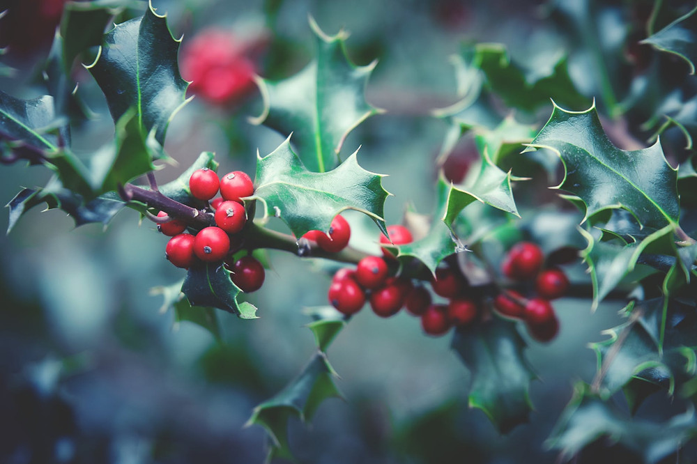 We have lots of Holly as Top of the Woods! So maybe our camping and glamping tents are protected from evil spirits, too!