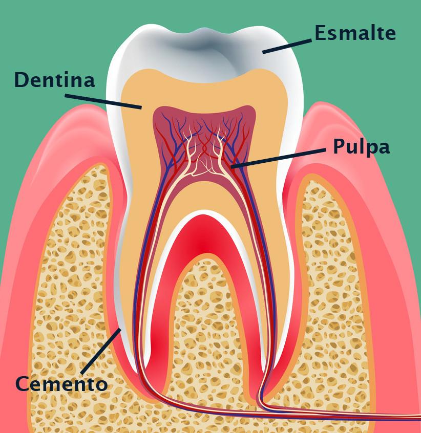 capas-diente