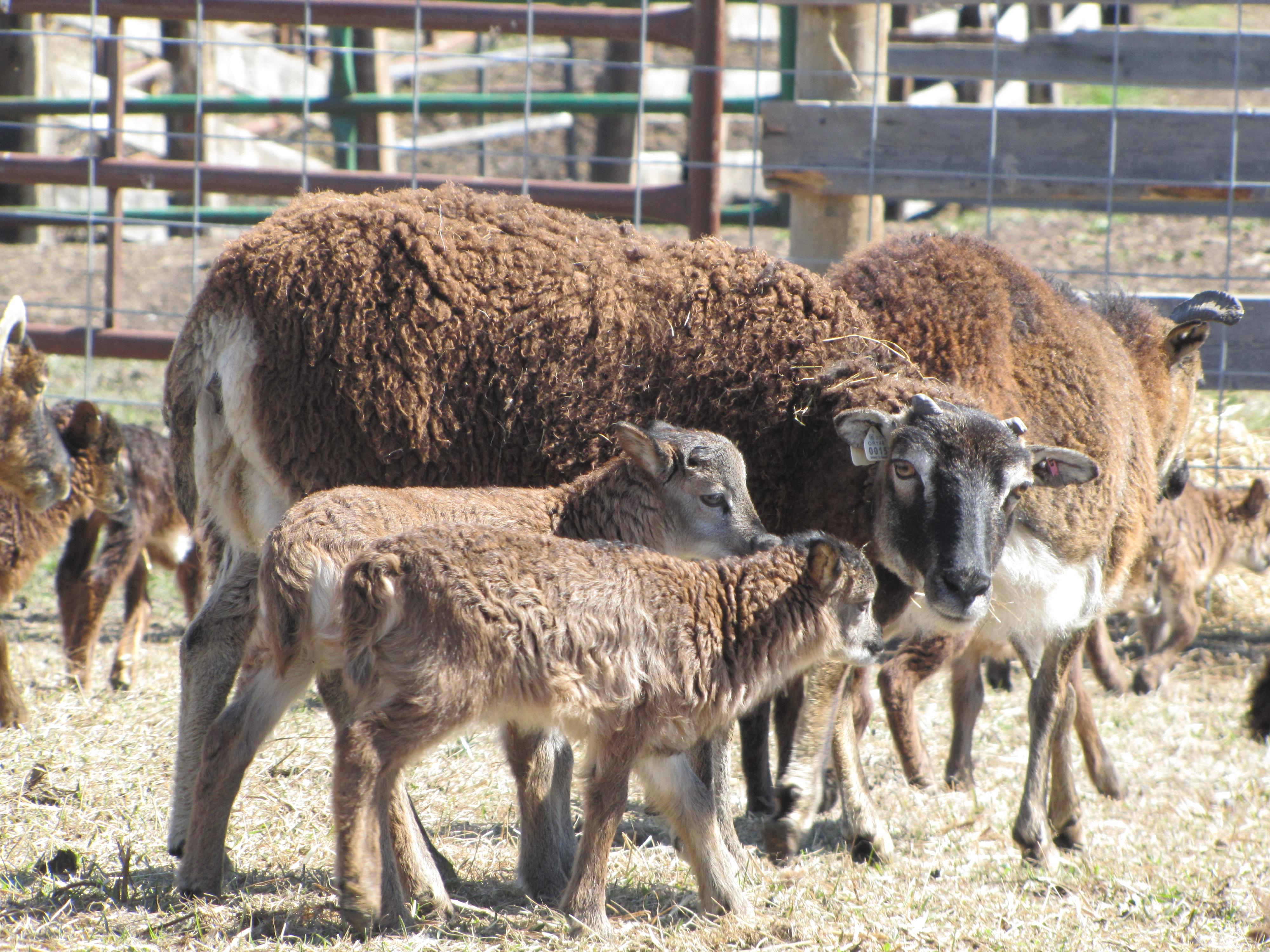 Lisa-Soay ewe
