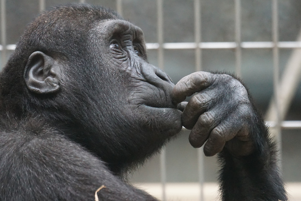 Chimpansee looking thoughtful