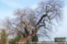 armada_tree_k1.png