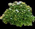 hydrangea_bush___by_aledjonesdigitalart_
